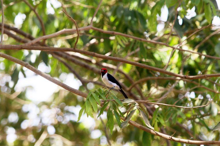 Um pássaro preto, branco e vermelho está pousado no galho de uma árvore